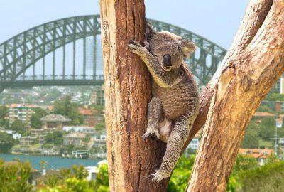 Koala sleeping in the tree with at the backdrop Sydney`s bridge