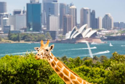 Giraffe in Tarango Zoo with at the backdrop Sydney`s skyscrapers and Opera House