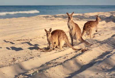 Kangaroos on the beach of Bribie Island near Brisbane